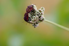 Symmetry (FiftyBubblesLater) Tags: nature outdoor depthoffield blur bug insect animal macro