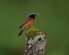 Redstart Male (Colin Rigney) Tags: nature wildlife scotland colinrigney scottishwildlife birds wings outdoors outside avian canon redstart wild beautifulbirds wildbirds
