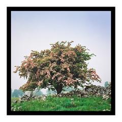 Pretty in Pink (gerainte1) Tags: hawthron tree yorkshire bloom spring dales film portra400 hasselblad501