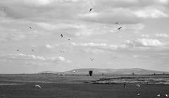 (eva.gourdoux) Tags: seagulls animal bird bnw outdoors ireland galway kid child running playing summer