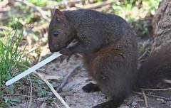That's not the proper way to hold a knife... (Gavin Edmondstone) Tags: sciuruscarolinensis greysquirrel squirrel oakville ontario