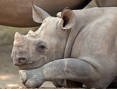 Black Rhino Mara Blijdorp JN6A6912 (j.a.kok) Tags: rhino rhinoceros blackrhinoceros blackrhino zwarteneushoorn neushoorn africa animal afrika mammal zoogdier dier herbivore blijdorp mara