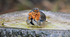 Phew – needed to cool off... (Ian A Photography) Tags: birds birdwatch britishbirds gardenbirds nature nikon robin ukbirds ukwildlife wildlife goldwildlife