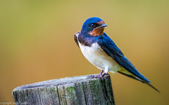 Swallow (steve.gombocz) Tags: nikon nikonusers nikond850 nikoneurope nikoncamera nikon500mmf4 nikonfx avian uccello oiseau vogel ave pajaro flickraddicts birdphotos birdphotograph birdphotography outdoor animal out outandabout nature wildlife wildlifewatch naturewatch wildlifereserve naturereserve wildlifephoto naturephoto wildlifephotograph naturephotograph wildlifephotography naturephotography wildlifepictures naturepictures summerwatch bbcsummerwatch tier animale flickrwildlife flickrnature wildbritain britishwildlife britishnature wildlifeuk yorkshirewildlife yorkshirenature bird birds ukbird swallow birdwatch birdwatcher birdwatching naturewildlife uknatureandwildlife flickrbirds birdsightings explorewildlife explorenature explorebirds exploreflickr colour colours color colourmania post bokeh yellow ngc