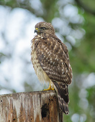 2018-08-02 P1377677 Juvenile Red-shouldered Hawk in the rain (Tara Tanaka Digiscoped Photography) Tags: bird redshoulderedhawk digiscoped gh5 swarovskistx85