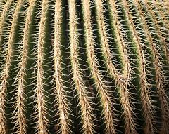 Forking Cactus (languitar) Tags: garden canaryislands lanzarote spain nature cactus jardindecactus guatiza plant españa islascanarias kingdomofspain reinodeespaña canarias es