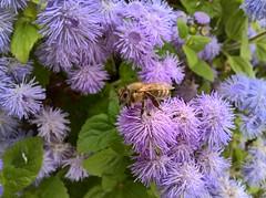 WP_20180802_08_44_52_Raw (vale 83) Tags: bee microsoft lumia 550 greatphotographers