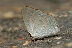 Curetis santana - the Malayan Sunbeam (BugsAlive) Tags: butterfly mariposa papillon farfalla 蝴蝶 schmetterling бабочка conbướm ผีเสื้อ animal outdoor insects insect lepidoptera macro nature lycaenidae curetissantana malayansunbeam curetinae wildlife doisutheppuinp chiangmai ผีเสื้อในประเทศไทย liveinsects thailand thailandbutterflies nikon105mm bugsalive ผีเสื้อสีหมากสุกมลายู