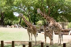 _MGL2167.jpg (shutterbugdancer) Tags: giraffe reticulatedgiraffe africansavanna fortworthzoo fortworth