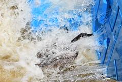 Canada Goose (Andrew Penney Photography) Tags: riversportsadventure okcriversports riversportrapids canada goose drowning water chocolate h2o swim saveme struggle blueblocks
