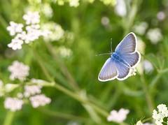 Little Blue Beauty (evakatharina12) Tags: blue butterfly gossamerwinged lycaenidae bläuling bug insect meadow closeup macro mattertal nikolaital wallis valais switzerland suisse summer