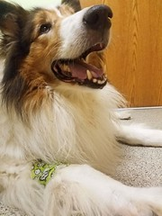 Unexpected Vet Visit Rewarded by Collie-Appropriate Bandage (~ Liberty Images) Tags: ben benedict collie dog canine buddy vetvisit awwwwww