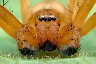 ~ Huntsman spiders ~