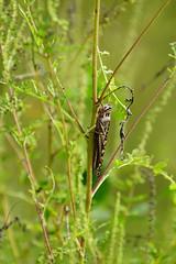 DSC01321.jpg (joe.spandrusyszyn) Tags: unitedstatesofamerica circlebbarreserve orthoptera caelifera nature grasshopper byjoespandrusyszyn polkcounty florida insect lakeland arthropod animal