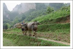 _J5K1341.0611.Bản Rã.Đàm Thủy.Trùng Khánh.Cao Bằng (hoanglongphoto) Tags: asia asian vietnam northvietnam northeastvietnam life people dailylife gettyimage lifeatvietnammountainous lifeinvietnam buffalo canon canoneos1dsmarkiii canonef2470mmf28lusm đôngbắc caobằng trùngkhánh đàmthủy bảnrã người cuộcsống đờithường contrâu theotrâurađồng cuộcsốngvùngcao three ba 3