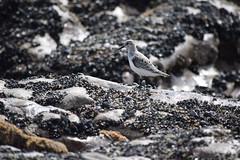 A small wader (jasperBA) Tags: sanderling birds bird wildlife nature wales rest bay rockpool coast wader porthcawl animals