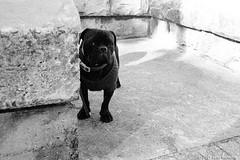 shy greeting  #588 (lynnb's snaps) Tags: 201807 35mm manly xtol bw blackandwhite film bianconegro bianconero blackwhite biancoenero blancoynegro noiretblanc monochrome schwarzweis ishootfilm rangefinderphotography barnack leicaiiif leicafilmphotography cv21mmf4colorskoparltm kodakxtoldeveloper kodaktrix400bwfilm dog dogs friendly shy gentle