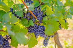 Grapes blue (a7m2) Tags: perchtoldsdorf mödling loweraustria weinberge winzer wienerwald heide natur wein wandern spazieren erholung hochberg heurigen