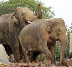 asiatic elephant Nicolai and Thong Tai artis JN6A0627 (j.a.kok) Tags: olifant elephant asia asiaticelephant azie aziatischeolifant animal artis herbivore mammal zoogdier dier thongtai nicolai