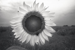 Sunflower, IR (ms2thdr) Tags: closeup infrared li longisland macro ny newyork riverhead soundavenue sunflower