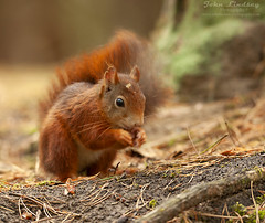 RS7 WM (John Thirkell) Tags: wild wildlife formby beach liverpool red squirrel sciurus vulgaris tree trees wood woods forrest woodland woodlands habitat nature food feed feeding