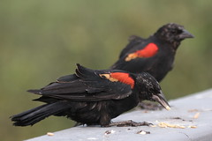 Red-winged Blackbirds (Terrance Carr) Tags: dncb tfn 20180813 reifel 2018 august terry carr terrycarr