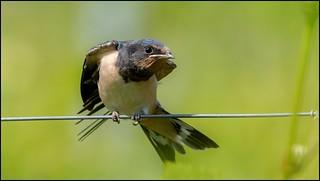 Hirondelle rustique juvénile / Barn Swallow