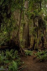 Redwood National Park (nebulous 1) Tags: ca california rnp redwoodnationalpark ferns leaves redwoodtrees tree trees nikon nebulous1 glene