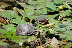 Very small Northern Red-bellied Turtle with Small Eastern Painted Turtle, Bucks County, PA, August 2018 (sstaedtler) Tags: turtles wildlife nature buckscounty explore