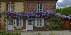 The wistaria of Bec-hellouin (JLM62380) Tags: glycine maison house eure bechellouin normandy france architecture windows bâtiment wistaria