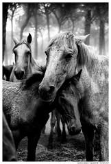 -- (Matías Brëa) Tags: caballos horses animal blancoynegro blackandwhite byn bw bnw