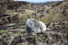 Seal pup, Farne Islands (Saleha Ullah) Tags: camouflage seals farne islands northumberland seal