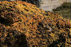 Yellow lichen on volcanic rock from neary Mangere Mountain (christineNZ2017) Tags: ambury regional park amburypark birdsanctuary birdlife bird sanctuary southauckland auckland newzealand winter lichen yellow volcanic rock