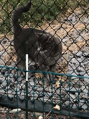 sighting tabby cat in #Citadel Pls share watch RT to get home YYC Pet Recovery shared Mila GoRobotz's post. This kitty has been sighted in Citadel by a kind soul helping us find Quincy. Not sure if he's roaming or lost. PM me for more details if this is y (yycpetrecovery) Tags: ifttt august 17 2018 foundsighted cat foundsightedcat tabbywhite tabby grey dark citadel dsh dmh sighted