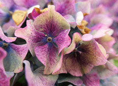 Pink Hydrangea blossoms, past their prime (Monceau) Tags: jersey pink palegreen brown bokeh macro hydrangea blossoms flowers pasttheirprime fading