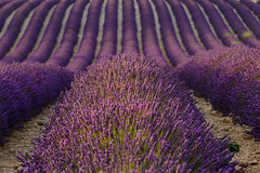 Purple waves (marypink) Tags: provenza provence francia france lavanda lavander plateaudevalensole field campo fioritura onde waves summer estate nikond800 nikkor70200f28