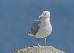 Common Gull (tickspics ) Tags: uk birds scotland argyllandbute gulls isleofmull commongull lochspelvetoproad innerhebrides laridae laruscanus mull