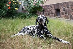 Chillen im Schatten (blumenbiene) Tags: hund dog hunde dogs hündin female dalmatiner dalmatian schwarz weis black white summer sommer