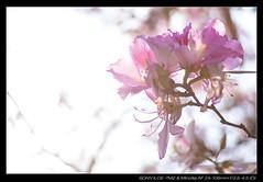 20180325-155744-A7M2 (YKevin1979) Tags: yuentsuenancienttrail 元荃古道 hongkong 香港 sony ilce7m2 a7ii a7m2 alpha minolta minoltaaf241053545d 24105 24105mm f3545 af countrypark 郊野公園 flower flora floral 花 大棠 元朗 yuenlong