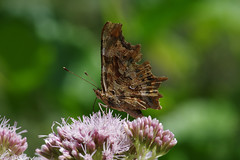 IMGP6685c Comma, Lackford Lakes, July 2018 (bobchappell55) Tags: polygoniacalbum comma wild wildlife nature lackfordlakes suffolk insect butterfly