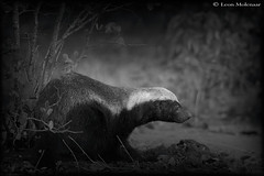 Honey Badger (Ratel) (leendert3) Tags: select leonmolenaar southafrica krugernationalpark wildlife nature mammals honeybadger ngc npc naturethroughthelens