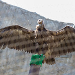 Griffon vulture in Moscow zoo thumbnail