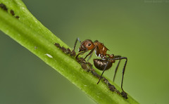 Ant tending to aphids (pbertner) Tags: ant aphids mutualism rainforest africa rwanda nyungwenationalpark