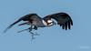 Osprey of the Jersey Shore | 2018 - 30 (RGL_Photography) Tags: birding birds birdsofprey birdwatching fisheagle fishhawk gardenstate jerseyshore monmouthcounty newjersey nikonafs600mmf4gedvr nikond500 osprey pandionhaliaetus raptors seahawk us unitedstates wildlife wildlifephotography bif birdsinflight