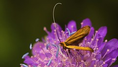 Longhorn Micro Moth (Nemophora Sp,) Austria (2) (Richard Collier - Wildlife and Travel Photography) Tags: wildlife naturalhistory nature insects macro closeup longhornmicromoth nemophorasp austria naturethroughthelens