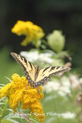 Endless Mountains (48) (Framemaker 2014) Tags: endless mountains sullivan county forkston pennsylvania northeast united states america butterfly flower