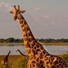 Giraffe portrait (Wanda Amos@Old Bar) Tags: africa chobenationalpark animal fauna giraffe portrait river square sunset wildlife