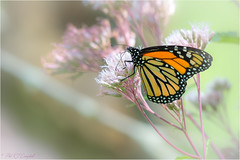 Monarch Butterfly (soupie1441) Tags: london ontario canada nikon d7200 200500mm nikkor