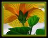 $  Transparent   IMG_0613 (yahcatphotos) Tags: jmc shreveport la nature flower matte frame lighting backlighting shreveportla