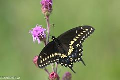 Black Swallowtail (mobull_98) Tags: blackswallowtail swallowtail